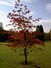 Red-leafed tree