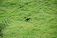 A moorhen chick tackling a slope